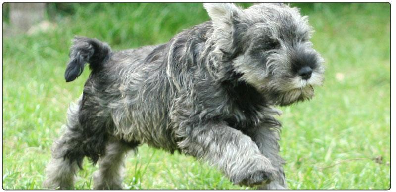 lilysall-miniature-schnauzer-puppy-aftercare
